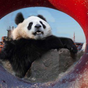 pandas in the arctic