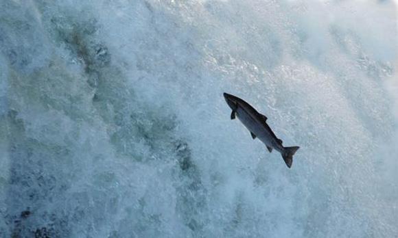 Salmon ISA