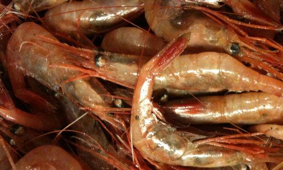 northern shrimp