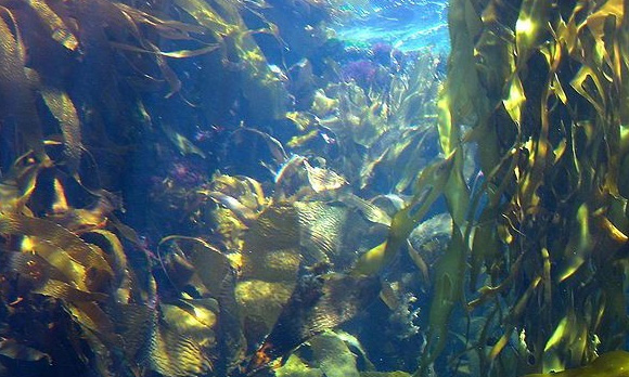 newfoundland seaweed